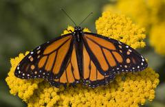 Monarch butterfly on yellow flower Stock Photos