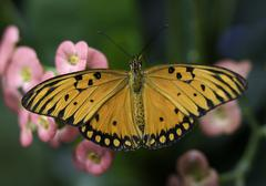 orange and black brush footed butterfly - stock photo