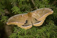 Cecropia moth macro Stock Photos