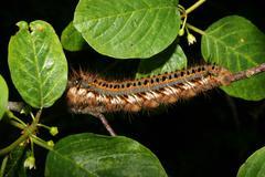 The drinker (philudoria potatoria) - caterpillar Stock Photos