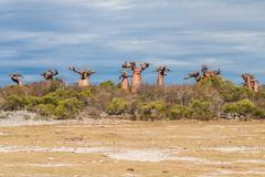 baobab trees and savanna - stock photo