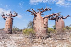 baobab forest and savanna - stock photo