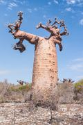 baobab tree and savanna - stock photo