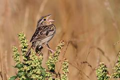 grasshopper sparrow (ammodramus savannarum) - stock photo