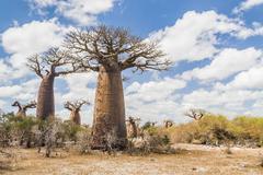Stock Photo of baobab trees and savanna