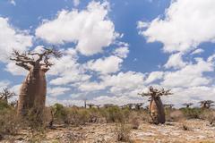 Baobab trees and savanna Stock Photos