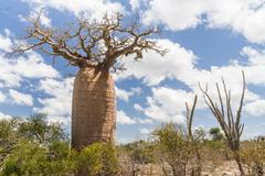 Stock Photo of baobab tree and savanna