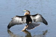 anhinga on a perch - stock photo