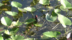 Moorhen in the Florida Everglades Stock Footage
