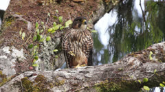 Endangered rare New Zealand Falcon bird on tree. Stock Footage