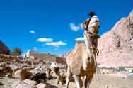 Stock Photo of Camel at St. Catherine's Monastery
