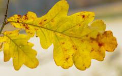 Yellow autumn leaf oak Stock Photos