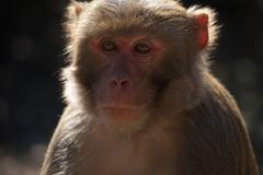 The rhesus macaque monkey (Macaca mulatta) Stock Photos