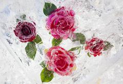 Rose-4 Stock Photos