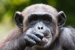 Chimpanzee in captivity Stock Photos