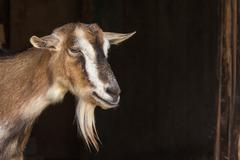 Stock Photo of Goat portrait