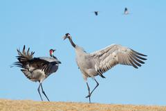 Common Crane Dance Stock Photos