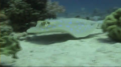 Bluespotted stingray swimming in front of camera Stock Footage