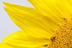 Red lady bug on blossoming sunflower Stock Photos