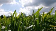 Stock Video Footage of sun Emerging Over Corn Field