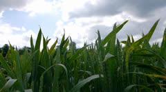 Sun Emerging Over Corn Field Timelapse Stock Footage