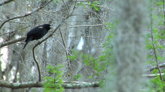 Birds, Red-Winged blackbird clings to Cypress Tree branch in Florida Stock Footage