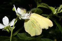 Common brimstone (gonepteryx rhamni) Stock Photos