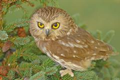 northern saw-whet owl (aegolius acadicus) - stock photo