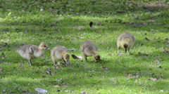 Goslings on a green meadow Stock Footage