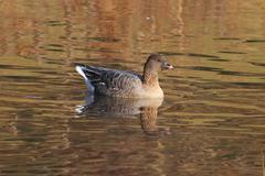 Pink-footed goose (anser brachyrhynchus) Stock Photos