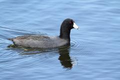 american coot (fulica americana) - stock photo