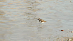 Common sandpiper looking for food  / Actitis hypoleucos Stock Footage