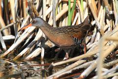 virginia rail (rallus limicola) - stock photo