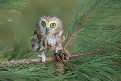 northern saw-whet owl (aegolius acadicus) - stock photo