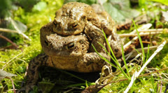 Toad with her partner on the back Stock Footage