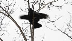 Rooks feeding each other, Corvus frugilegus Stock Footage