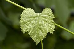 The green grape leaf Stock Photos