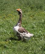 Stock Photo of Goose