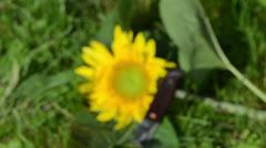 Focus cut unripe sunflower head bloom grass retro knife Stock Footage