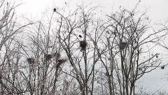 Rooks nests, Corvus frugilegus Stock Footage