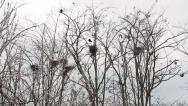 Stock Video Footage of Rooks nests, Corvus frugilegus