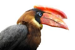 Isolated Portrait calao Rufous hornbill Stock Photos