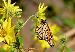monarch butterfly (danaus plexippus) on woodland sunflowers - stock photo