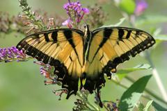 tiger swallowtail (papilio glaucas) - stock photo