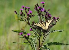 Tiger swallowtail (papilio glaucas) butterfly Stock Photos
