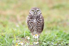 burrowing owl (athene cunicularia) - stock photo