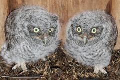 eastern screech-owl chicks - stock photo