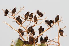 Flock of black vultures Stock Photos
