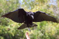 american crow (corvus brachyrhynchos) - stock photo