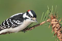 downy woodpeckers (picoides pubescens) - stock photo